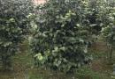 桂花100-500公分高