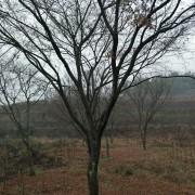 高杆鸡爪槭
