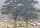6公分马褂木