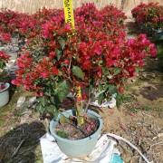 1米高同安红三角梅