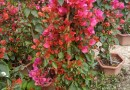 漳州基地直销各种规格非洲茉莉价格  非洲茉莉球