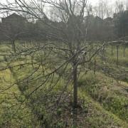5-12公分樱花牡丹樱