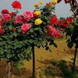 供应高杆月季供应树状月季供应树桩月季树