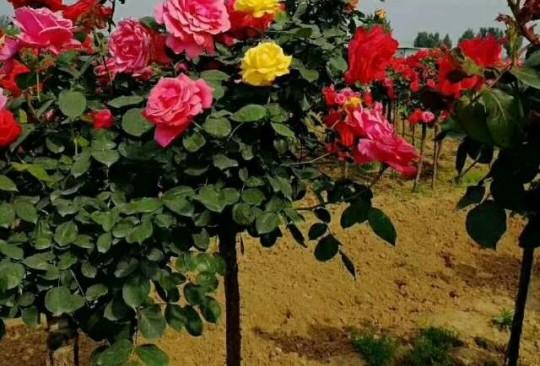 供應高桿月季供應樹狀月季供應樹樁月季樹