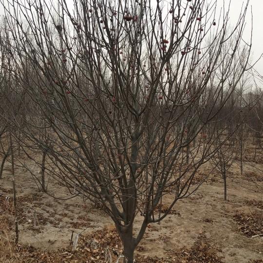 八棱海棠樹15公分