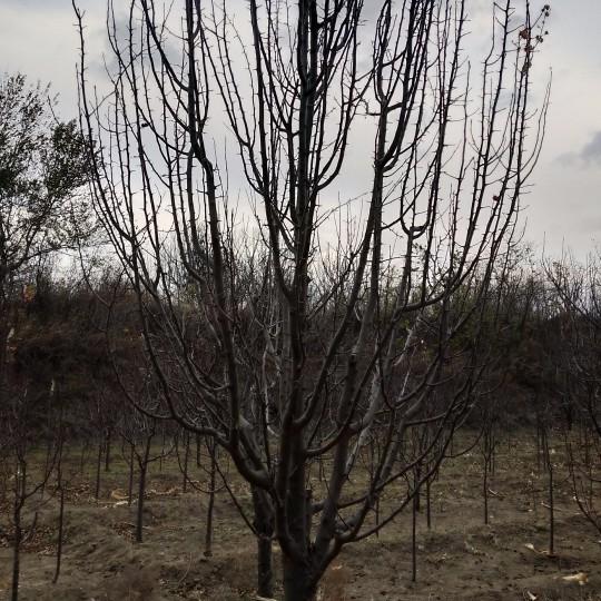 八棱海棠樹