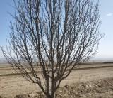 十公分八棱海棠树