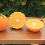 红美人柑橘苗