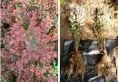 地径5公分紫丁香