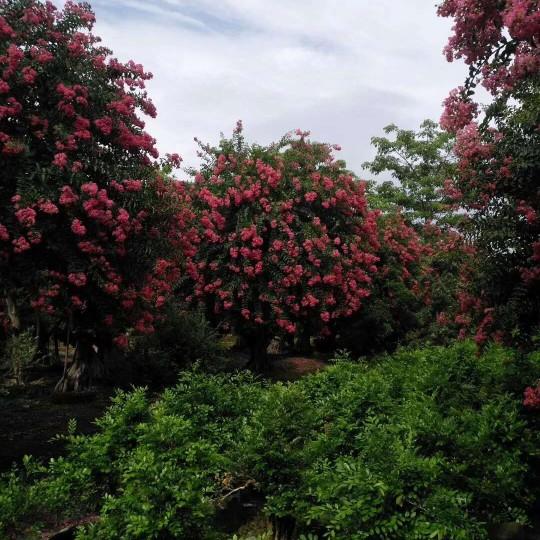 3-25公分紅花紫薇價格