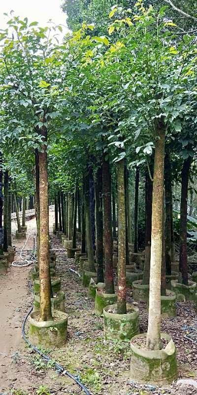 秋枫  重阳木  批发供应