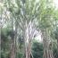 精品黃連木