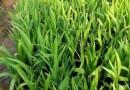 鸢尾--草花