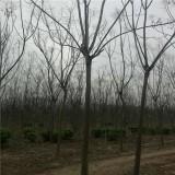 6公分栾树