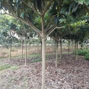 枇杷树价格 枇杷树基地批发 江苏枇杷树