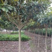 东台枇杷树 工程枇杷树基地 枇杷树价格