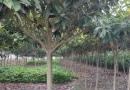 10-35公分台湾栾树