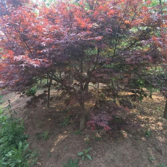 3-12公分日本红枫