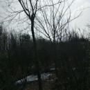 2-45公分乌桕树