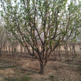15公分八棱海棠树价格16公分八棱海棠价格