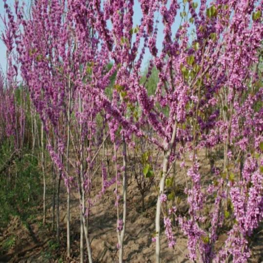 2公分紫荊