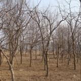 江苏皂角树