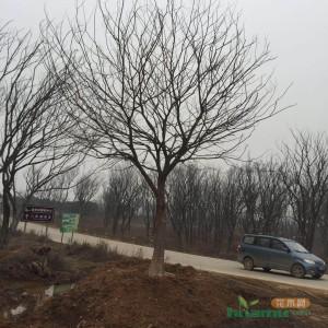 安徽朴树滁州朴树30公分精品朴树