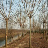 12公分金叶复叶槭