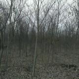 5公分单杆朴树