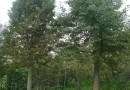10公分银杏树
