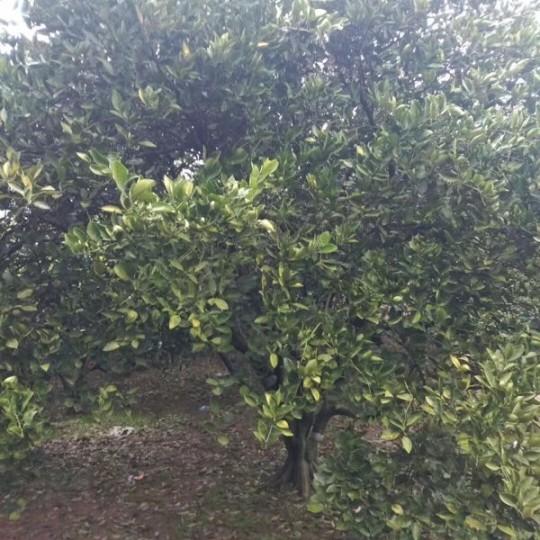 10公分胡柚樹