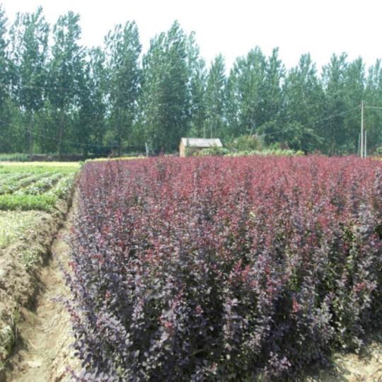 高50公分紫叶小檗
