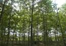 4公分杂交马褂木