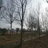 18公分重阳木