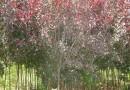 4公分紫叶矮樱