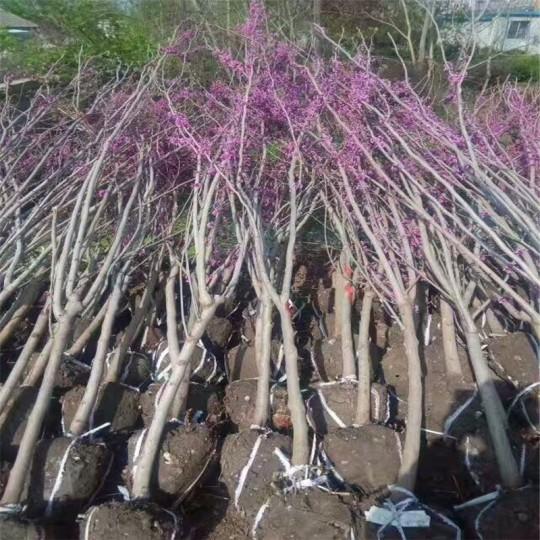 4公分紫荊樹