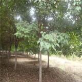 5公分重阳木