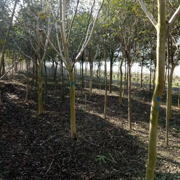 地径8公分紫薇树价格