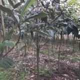 地径2公分枇杷树