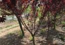 3公分紫叶矮樱