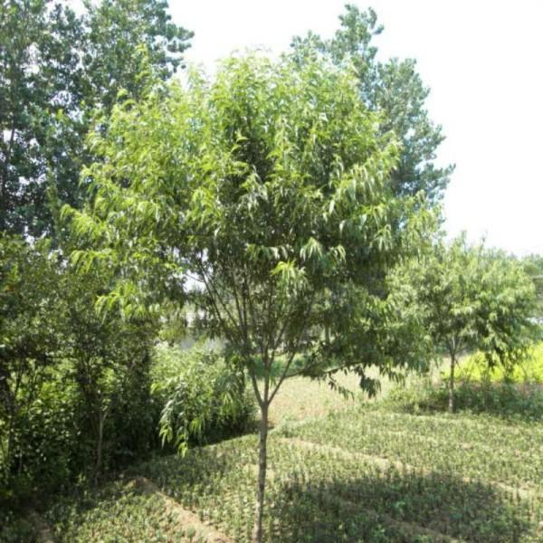 3公分桃樹