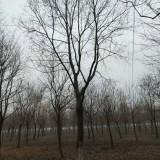 16-18公分乌桕树