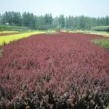40公分紫叶小檗