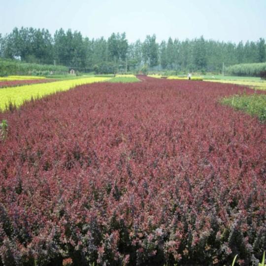 40公分紫葉小檗