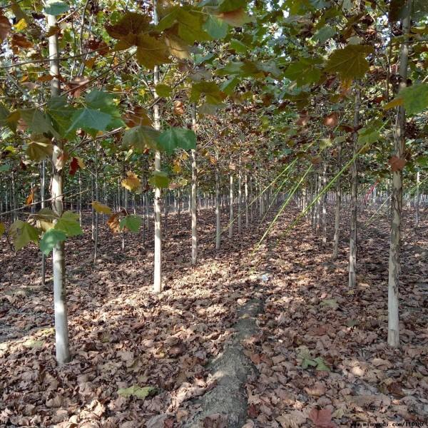 供应法桐树,法桐基地大树,小苗