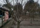 5公分鸡爪槭