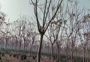12公分栾树
