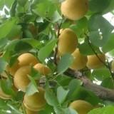 大白杏杏树苗