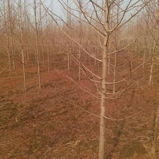 5公分金葉水杉