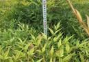 高60公分南天竹